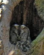 Waldkauz in einer Eiche